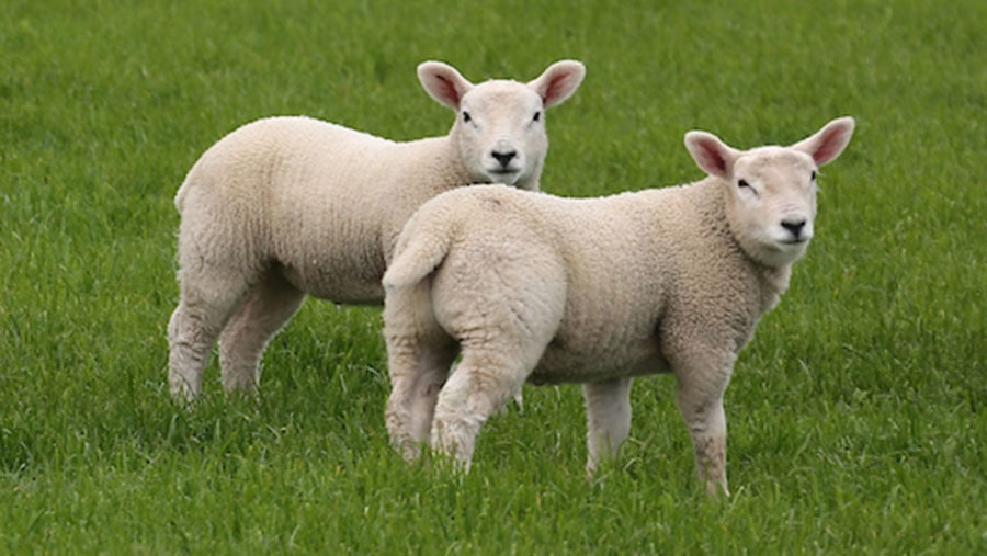 Picture of lambs for Numnuts